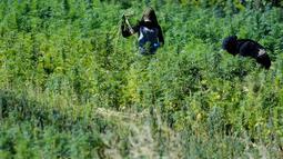 Pekerja menyingkirkan kotoran dan daun kering di ladang ganja di Lembah Bekaa, Desa Yammoune, Kota Baalbek, Lebanon, Senin (23/7). Belum diketahui seberapa cepat realisasi kebijakan legalisasi ganja medis  dirampungkan. (AP Photo/Hassan Ammar)