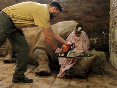 Petugas bersiap memotong cula badak putih bernama Pamir di kebun binatang Dvur Kralove, Ceko, 20 Maret 2017. Kebun binatang ini memotong cula 21 ekor badak koleksinya agar tak menjadi incaran pemburu cula. (Simona Jirickova/Zoo Dvur Kralove via AP)