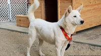 Ilustrasi anjing Pungsan, anjing khas Korea Utara (AP)