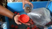 Bibit lobster ilegal yang berhasil disita di Polda Metro Jaya, Jakarta, Jumat (23/12). Benur ini dikumpulkan dari nelayan di daerah Banyuwangi, kemudian dibawa ke Jakarta yang nantinya akan di ekspor ke Vietnam. (Liputan6.com/Gempur M. Surya)