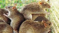 Ilustrasi tikus sawah (CSIRO)