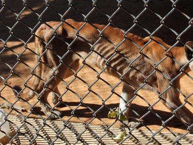 Seekor puma yang kurus berjalan di kandangnya di sebuah kebun binatang di Maracaibo, Venezuela, (14/2). Krisis ekonomi parah yang dialami Venezuela ternyata juga berdampak bagi kehidupan satwa-satwa di sana. (AFP Photo/Miguel Romero)