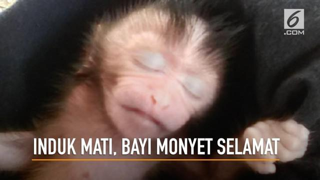 Detik-detik seorang wanita melakukan operasi caesar pada induk monyet yang tewas untuk menyelamatkan bayi monyet dalam kandungan.