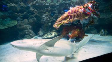 Dua penyelam melakukan atraksi barongsai dengan hiu yang mengelilingi mereka di taman bawah laut Aquaria KLCC, Kuala Lumpur, 30 Januari 2019. Atraksi dengan kostum warna-warni ini dalam rangka menyambut Tahun Baru Imlek 2570. (AP/Vincent Thian)