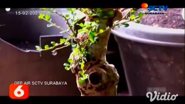 Budidaya tanaman hias semakin banyak digandrungi selama masa pandemi. Salah satunya adalah tanaman bonsai, karena cukup mudah dibudidayakan di lahan sempit sekalipun.