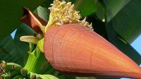 Bunga pisang dapat menyembuhkan berbagai penyakit