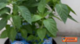 Citizen6: Pertumbuhan paprika mulai dari bibit hingga tumbuhan paprika siap panen. (Pengirim: Subagya W)