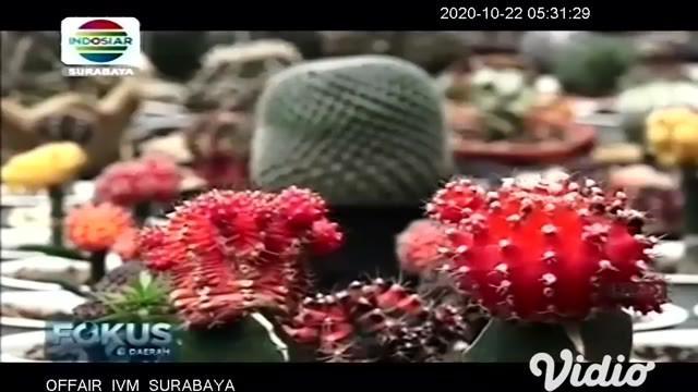 Berduri namun cantik, inilah kaktus tanaman yang identik dengan lahan kering atau gurun. Namun, siapa sangka tanaman berduri ini ternyata bisa tumbuh subur di iklim tropis seperti Indonesia.