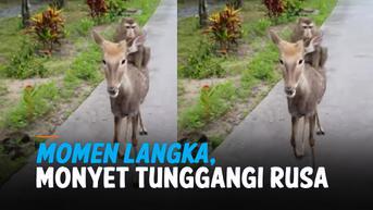 VIDEO: Momen Langka, Monyet Tunggangi Rusa di Taman