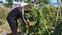 Kapolres Blora, Ajun Komisaris Besar Polisi Wiraga Dimas Tama saat akan memetik melon dari kebun buah di Pekarangan Pangan Lestari Bhayangkari Cabang Blora. (Liputan6.com/Ahmad Adirin)