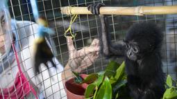 Bayi siamang (Symphalangus syndactylus) berusia antara satu hingga dua bulan di kandang rehabilitasi BKSDA, Banda Aceh, Kamis (13/9). Bayi siamang ini berasal dari Tangse, Pidei dan kemarin diserahkan ke BKSDA Aceh ntuk perawatan. (AFP/CHAIDEER MAHYUDDIN)