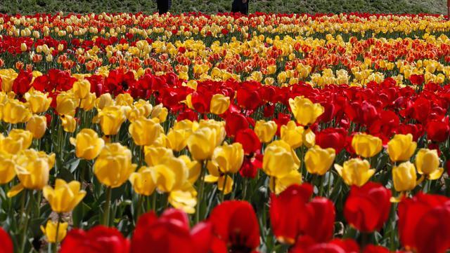 Pengunjung yang memakai masker berjalan di dekat ladang tulip di sebuah taman di Paju, Korea Selatan, pada 14 April 2021. Korea Selatan sedang menyambut musim semi yang akan berlangsung dari Maret hingga Mei. (AP Photo/ Lee Jin-man)