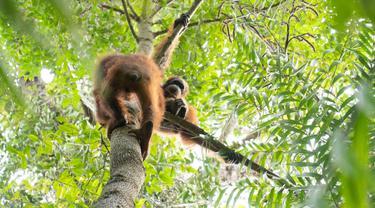 Pelepasliaran lima orangutan sitaan dari pemeliharaan illegal. (Foto: IAR Indonesia)