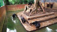 Beruang kurus di Kebun Binatang (Bonbin) Kota Bandung, Jabar, mengundang keprihatinan khalayak luas. (Liputan6.com/Kukuh Saokani)