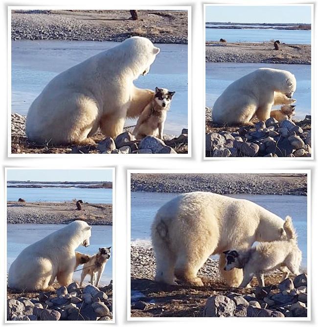 Beruang kutub yang sangat akrab dengan anjing | Photo: Copyright dailymail.co.uk