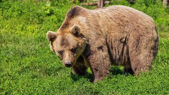 Petinju di Rusia Terluka Parah Usai Melawan Beruang yang Telah Membunuh Temannya