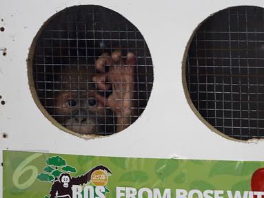 Tiga Orangutan yakni, Puspa orangutan Sumatera (Pongo abelli), Moza dan Junior orangutan Kalimantan (Pongo pygmaeus wurmbii) berada dalam kandang saat akan dilepas ke alam bebas di Jakarta, Selasa (9/2). (Liputan6.com/JohanTallo)