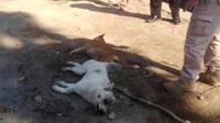 Dua ekor hewan buas sejenis anjing hutan diduga pemangsa puluhan kambing terjerat perangkap warga Jurangmangu, Pemalang. (Foto: Liputan6.com/Polres Pemalang/Muhamad Ridlo)