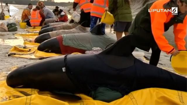 Enam paus terdampar di pantai Selandia Baru, aktivis berusaha untuk mengembalikan mereka kembali ke lautan.