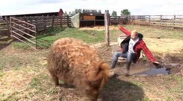 Detik-detik seorang pria yang berprofesi sebagai fotografer profesional khusus bianatang, dilempar ke kubangan kotoran oleh seekor babi berbobort lebih dari 200 kilogram.