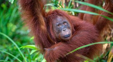 Ilustrasi orangutan (iStock)
