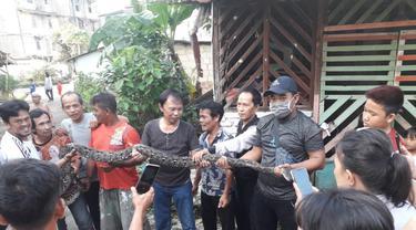 Ular Sanca Sepanjang 4 Meter dan Puluhan Telurnya Bersarang di Rumah Warga di Palembang