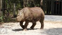 Badak Sumatera jantan bernama Harapan saat berada di dalam kandang Taman Nasional Way Kambas, Lampung, Kamis (5/11). Badak ini sempat dipinjam kebun binatang Cincinnati Zoo Amerika Serikat. (Liputan6.com/Fery Pradolo)