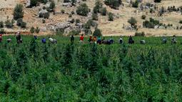 Para pekerja menyingkirkan kotoran dan daun kering di ladang ganja di Lembah Bekaa, Desa Yammoune, Kota Baalbek, Lebanon, Senin (23/7). Menteri Keuangan Lebanon menyatakan mendukung perumusan legalisasi ganja medis. (AP Photo/Hassan Ammar)