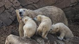 Seekor beruang kutub betina bersama dengan bayi kembar tiganya yang lahir pada Desember tahun lalu di taman hiburan Marineland di Kota Antibes, Prancis, Kamis (14/5/2020). (Xinhua/Serge Haouzi)