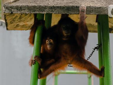Orangutan beraktivitas dalam kandangnya di Taman Margasatwa Ragunan, Jakarta Selatan, Senin (20/4/2020). Satwa-satwa di Taman Margasatwa Ragunan terlihat lebih tenang sejak penutupan lokasi mulai 14 Maret untuk mencegah penyebaran virus corona COVID-19. (Liputan6.com/Faizal Fanani)