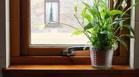 Tanaman Hias Peace Lily mampu bersihkan udara ruangan rumah. Source: Shutterstock