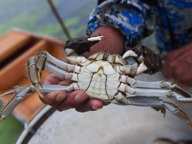 Peternak kepiting menunjukkan seekor kepiting tangkapan di sebuah pusat pembudidayaan di Distrik Wuxing di Huzhou, Provinsi Zhejiang, China, 23 September 2020. Pusat pembudidayaan kepiting seluas sekitar 933 hektare di Wuxing tersebut baru-baru ini memasuki musim panen. (Xinhua/Xu Yu)