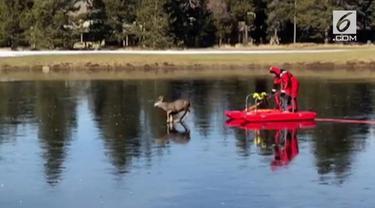 Seorang pemadam kebakaran menyelamatkan seekor rusa yang terjebak di atas kolam beku