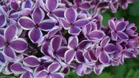 Bunga Lilac