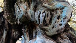 Kondisi batang pohon zaitun tertua di Uldecona, Spanyol (6/12). Uldecona terkenal dengan perkebunan zaitun yang luas. (AFP Photo/Jose Jordan)