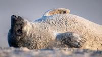 Anjing laut abu-abu bersantai di pantai Pulau Helgoland, Jerman, 4 Januari 2020. Memasuki bulan November hingga Januari, ratusan anjing laut abu-abu menggunakan Pulau Helgoland untuk melahirkan anak-anak mereka. (John MACDOUGALL/AFP)