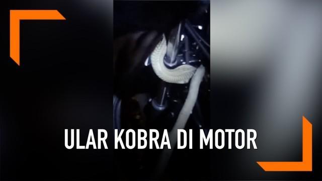 Seorang pria berhasil menangkap ular yang bersembunyi di stang motor dengan tangan kosong.