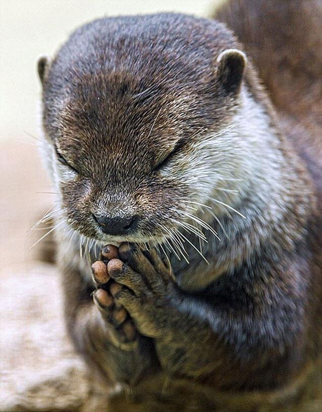 Seekor hewan sedang serius melakukan gerakan yoga   Photo: Copyright dailymail.co.uk