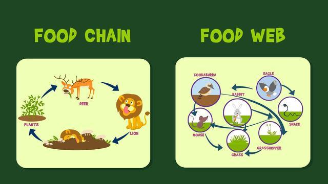 Jaring Jaring Makanan Pengertian Dan Contohnya Yang Wajib Diketahui
