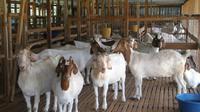 Ada dugaan kematian kambing-kambing Gunungkidul itu akibat serangan anjing liar.