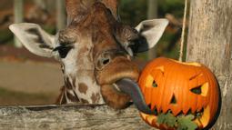 Jerapah makan daun dalam labu untuk merayakan Hari Halloween di Kebun Binatang London, Inggris, Kamis (25/10). (Yui Mok/PA via AP)