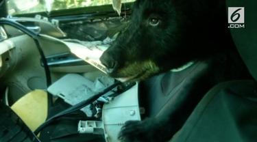 Para turis di Colorado, Amerika Serikat diimbau untuk selalu waspada dan mengunci mobil usai insiden dimana seekor beruang liar masuk ke dalam mobil.