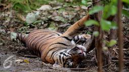 Harimau Sumatera yang terkena jebakan warga dibatang pohon di Taman Nasional Batang Gadis, Sumatera, Kamis (26/11). Harimau tersebut terjerat jebakan warga yang diperuntukan untuk hewan rusa. (Ori Kakigunung)