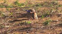 Suatu jenis tikus di benua Afrika dilatih untuk mencari ranjau yang ditanam di berbagai bagian benua tersebut.