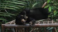 Beruang madu di Balikpapan, Kaltim. (Liputan6.com/Abelda Gunawan)