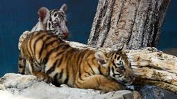 Anak harimau putih, Yanek bermain dengan saudaranya di Kebun Binatang Nasional Kuba di Havana pada 4 Juni 2021. Untuk pertama kalinya dalam 20 tahun, empat anak harimau lahir di kebun binatang dan di antaranya, seekor harimau putih betina yang langka bernama Yanek. (YAMIL LAGE/AFP)
