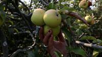 Pengunjung memetik buah apel di salah satu perkebunan kawasan Batu, Malang, Jawa Timur, Rabu (25/9/2019). Apel Malang dihargai Rp 25 ribu hingga Rp 30 ribu per kilogramnya. (Liputan6.com/JohanTallo)