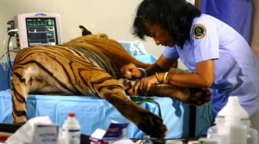 Dokter Yanti Penyelamat Satwa Rimba Sumatera