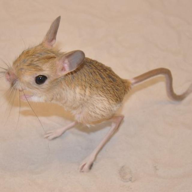 Langka Hewan Mungil Mirip Tikus Dan Kangguru Ini Viral Citizen6