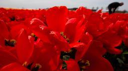 Seorang lelaki mengambil bunga tulip di sebuah ladang dekat Lisse, Belanda tengah barat, (17/4). Menurut bank Belanda, negara ini terus menjadi pemain terbesar dengan 52 persen berbagi dalam ekspor global bunga dan tanaman. (AP Photo/Peter Dejong)